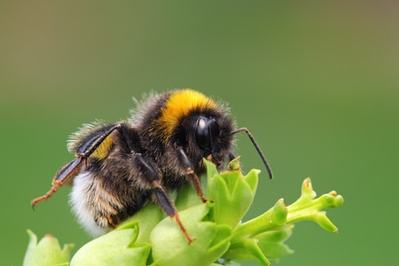 bombus: Bumble-bee sitting on green leaf Stock Photo