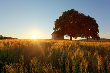 Sunset over wheat field with chapel and tree photo