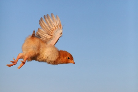 Flying chicken with blue background photo