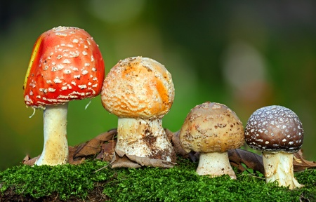 intoxicant: Nice Four toadstools in moss