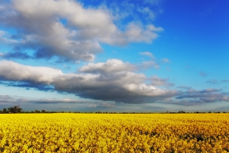 canola plant: Canola Field under Blue Sky