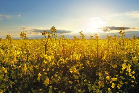 oilseed rape: Flower Yellow field at sunset
