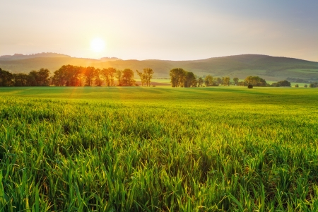 grain fields: Green wheat field at sunset with sun Stock Photo