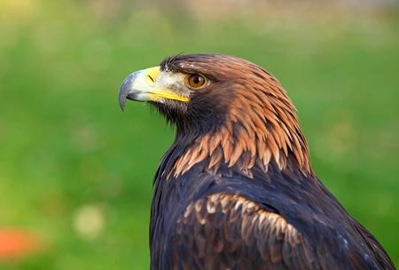 Portrait of a Golden Eagle  Aquila chrysaetos  photo