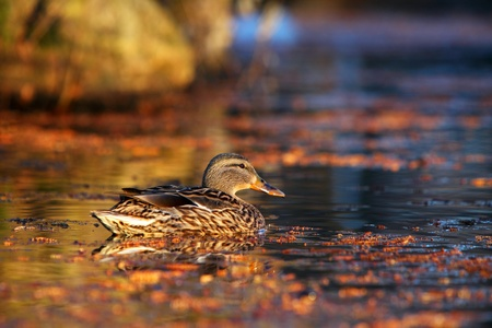 Female duck on a calm lake in early morning photo