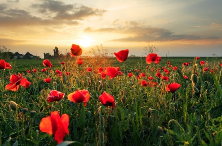 Poppies field flower on sunset photo