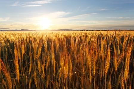 grain fields: Wheat field at sunset