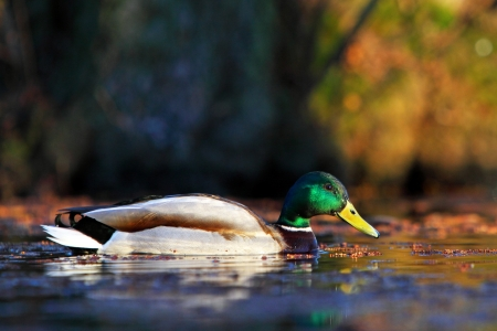 Female mallard duck in water photo