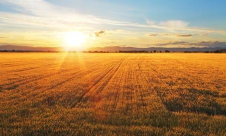 Zonsondergang over tarweveld. Stockfoto
