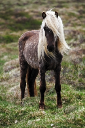 icelandic: Iceland horse Stock Photo