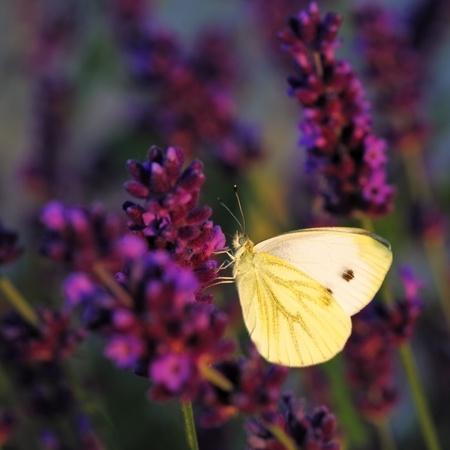 pieris: Butterfly - Brassicae Pieris on Lavandula Stock Photo