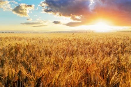 cultivo de trigo: Puesta de sol sobre el campo de trigo