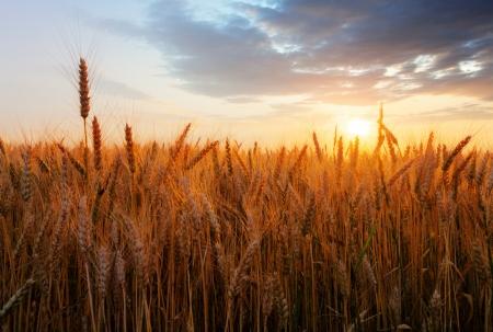 grain fields: Wheat field over sunset Stock Photo