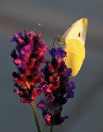 Butterfly - Brassicae Pieris on Lavandula Stock Photo - 20859256