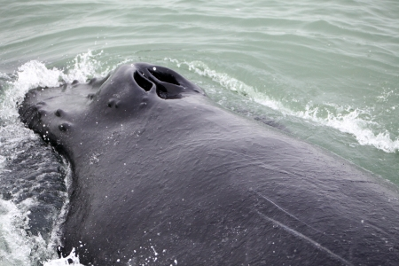 Tail fin of the mighty humpback whale  Megaptera novaeangliae  seen from the boat near Husavik, Iceland photo