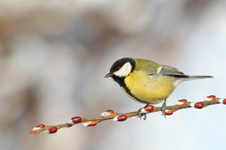 bird feeder: Great Tit on branch.