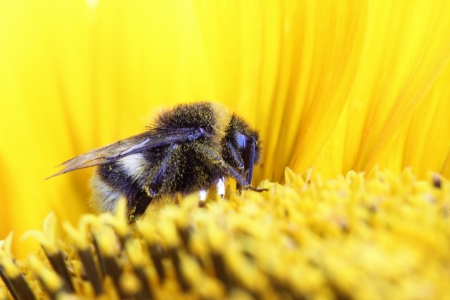 bombus: Bumble-bee sitting on sunflower Stock Photo