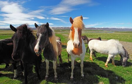 settler: Icelandic horses. The Icelandic horse is a breed of horse that has lived in Iceland since the mid-800s AD, having been brought to the island by Viking settlers.