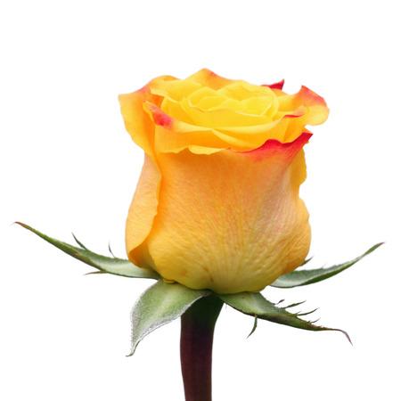mujer con rosas: Rosa amarilla Foto de archivo