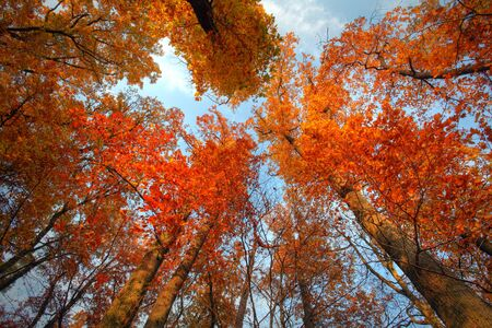 Sky with clouds and sunshine through the autumn tree branches (from below)