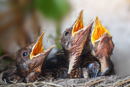 Bird nest with young birds - Eurasian Blackbird photo