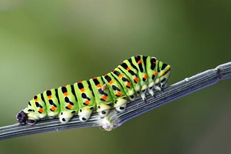Green caterpillar - papilio machaon photo