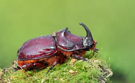 oryctes: European rhinoceros beetle in the wild - Oryctes nasicornis Stock Photo