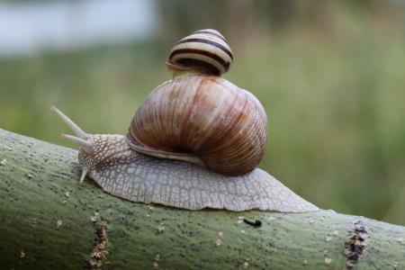 mucus: Two snails on leaf. (Helix pomatia and Cepaea vindobonensis)