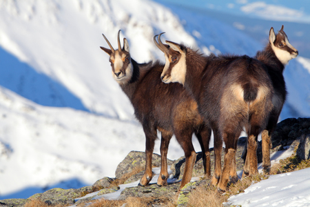 Group of Chamois at winter in a Slovakia photo