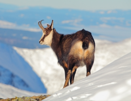 mountain goats: Chamois at winter in Tatras