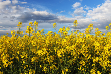 coleseed: Canola Yellow field Stock Photo