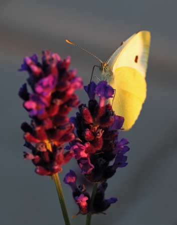 Butterfly - Brassicae Pieris on Lavandula photo