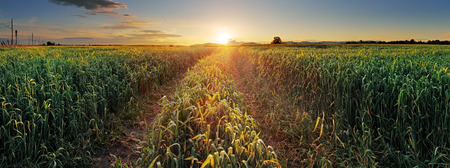 Panorama Sunset over wheat field with path  Stock Photo