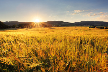 Wheat field - agriculture farm, industry photo