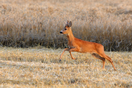 capreolus: Deer jump on field
