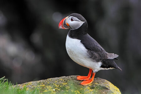 Bird Puffin Stock Photo