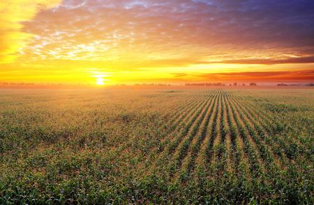 planta de maiz: Campo de maíz en la puesta del sol