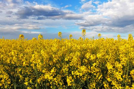 oilseed rape: Yellow field - Rape