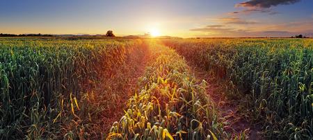granja: Paisaje rural con campo de trigo y el sol