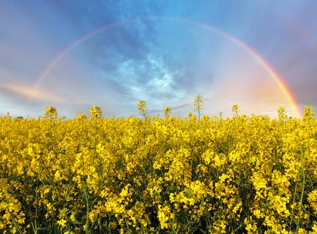rapaseed: Rape yellow field with rainbow Stock Photo