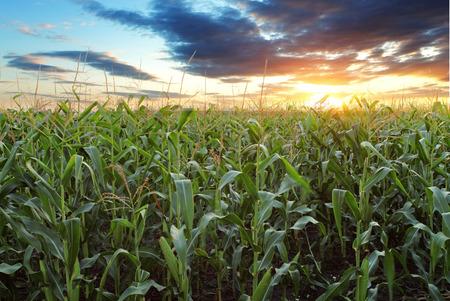 トウモロコシ畑 写真素材 - 36978099
