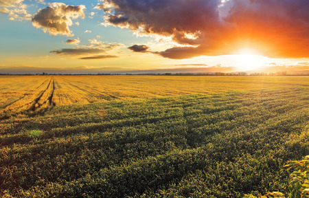 horizon over land: Field with gold ears of wheat in sunset