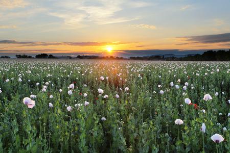 opium poppy: Meadow with Poppy flowers