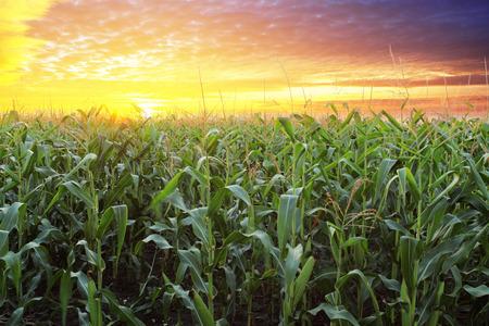 Pole kukuřice při západu slunce