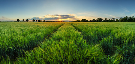 Sunset over wheat field with path