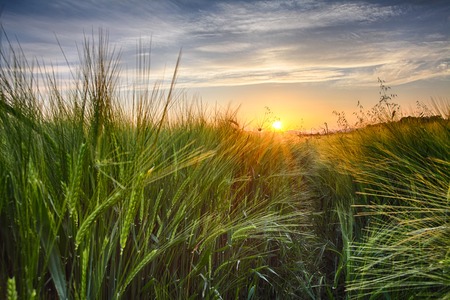 canada agriculture: Rural landscape with wheat field on sunset