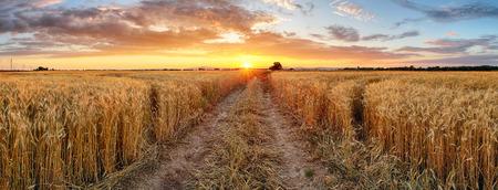 planta de maiz: Campo de trigo en la puesta del sol, panorama
