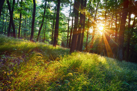 The bright sun rays shining through branches of trees, wood landscape Standard-Bild