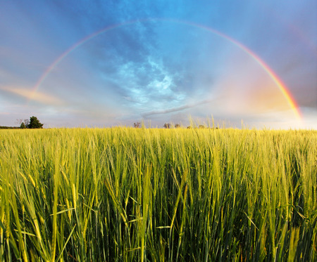 Wheat field - barley, Rainbow