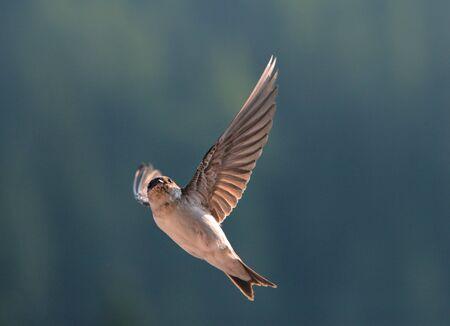 bird: Bird, swallow on flying Stock Photo